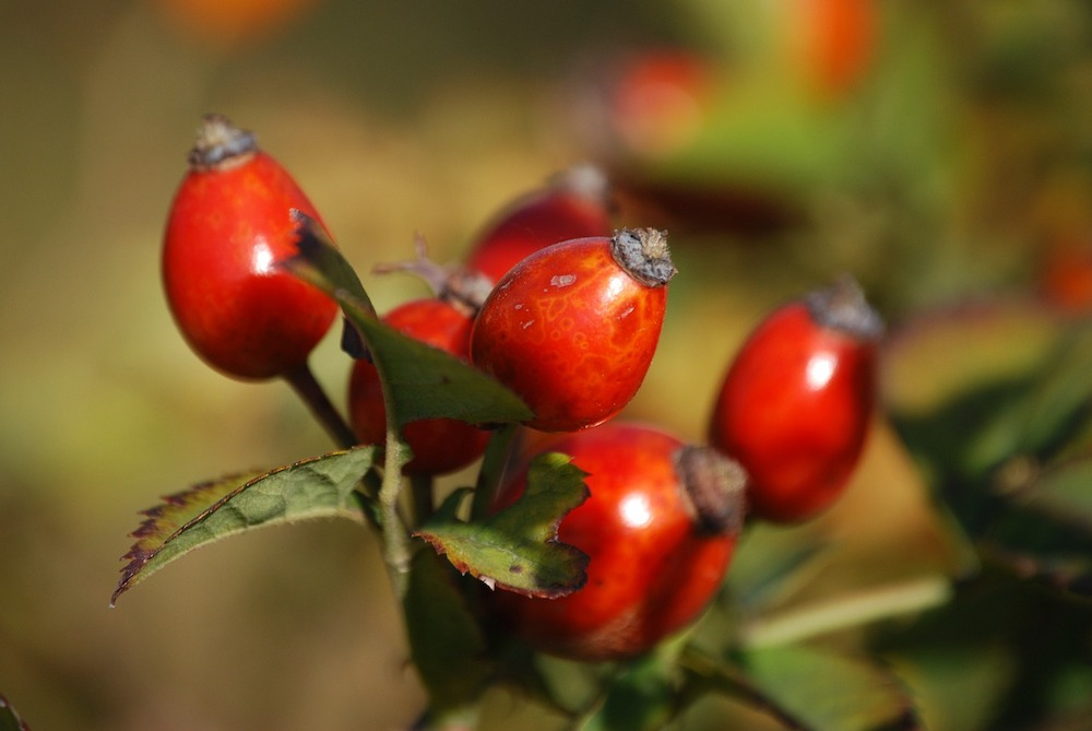 Can You Eat Rosehips