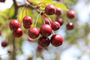 Can You Eat Crab Apples