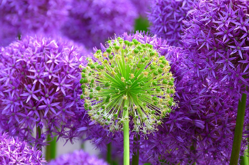 Can You Eat Alliums