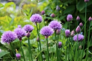 Can You Eat Chive Flowers